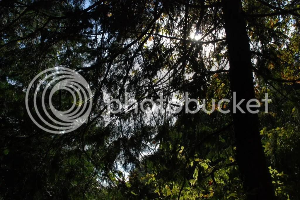 pines trees