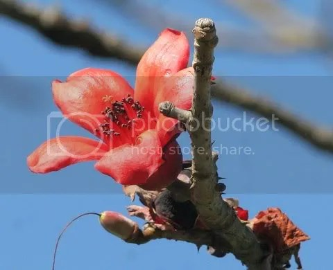 bombax malabaricum flower