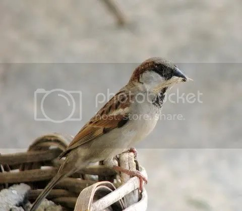 male sparrow with nesting material 171108 ragihalli village