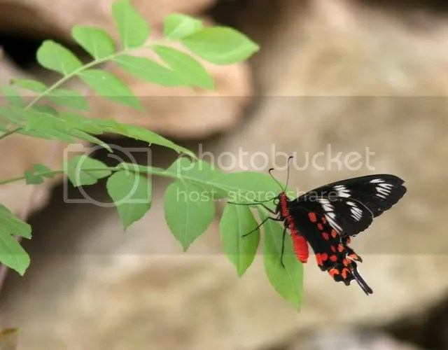 crimson rose 040409 bg zoo