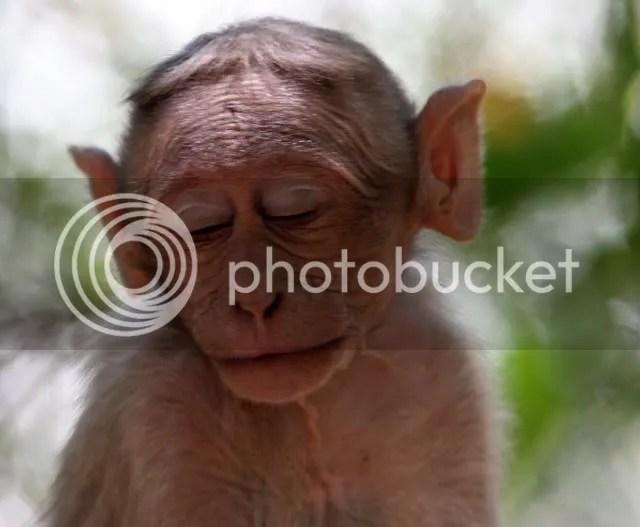 macaque asleep 100409 nh