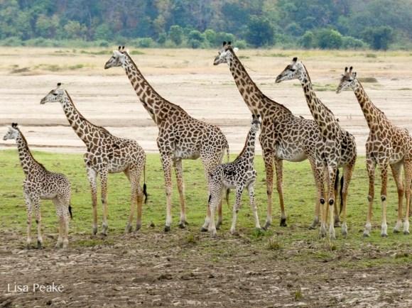 giraffeLisa1.125951.jpg