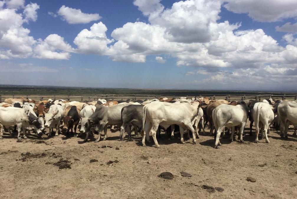 Ol Pejeta Cattle