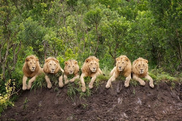 https://i2.wp.com/i3.mirror.co.uk/incoming/article1263658.ece/ALTERNATES/s615/6%20male%20lions%20in%20a%20row...They%20may%20be%20fearsome%20predators,%20but%20these%20six%20lions%20look%20positively%20cuddly%20as%20they%20relax%20in%20a%20row