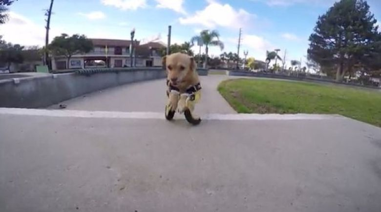 Test drive: New legs are given to Daisy the disabled dog