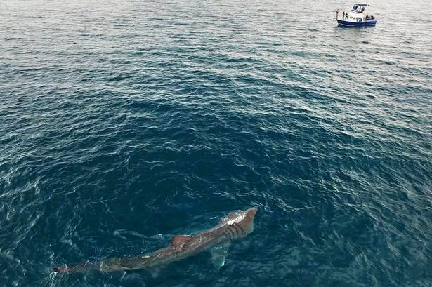 A giant basking shark in Falmouth