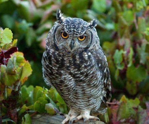 動物世界: 為什麼貓頭鷹的飛行是「靜音」的? - 壹讀