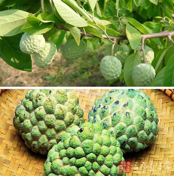 釋迦鳳梨 番荔枝的作用有哪些 - 壹讀