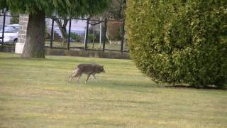 Coyote stalks and starts going in for attack on elderly lady and dog