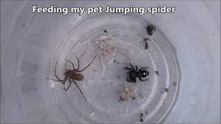 Jumping Spider Vs Brown Recluse