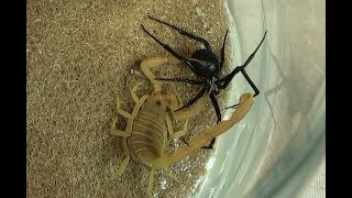 Black Widow Spider vs. Bark Scorpion Natural Pest Control Test