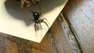 Up close with the incredible black widow spider