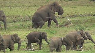 Herd of Wild elephants breaking an Electric fence !