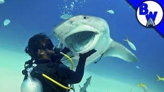 Tiger Shark Encounter – Director's CHOMP!