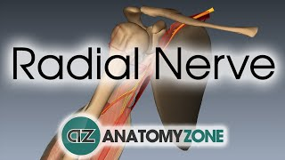 Radial Nerve - 3D Anatomy Tutorial