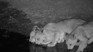 Djuma: Lions-3 Nkuhuma females with 4 cubs and 2 Avoca males - 23:404- 09/20/19