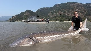 Catch and Cook Sturgeon!!! How to catch giant sturgeon -