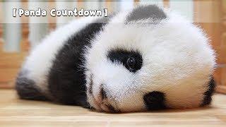 【Panda Countdown】Panda Driving School is Recruiting| You Must be the Prettiest Panda | iPanda
