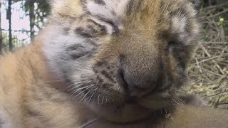 Three tiny tiger cubs welcomed to safari park