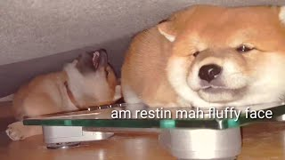 Am I squish enough? - Shiba Inu puppies (with captions)