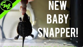 NEW Baby Snapping Turtle!
