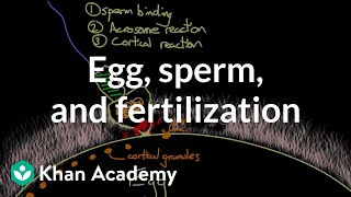 Egg, sperm, and fertilization
