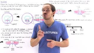 Neurulation - Embryology