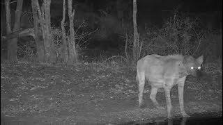 Djuma: Lone Hyena - 21:50 - 11/12/19