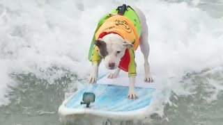 Dogs Catch Some Waves During Annual Surfing Competition