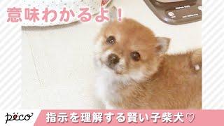 飼い主さんの指示を理解しようとする、とってもかしこい子柴犬🐕💕【PECO TV】