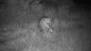 Djuma: Avoca Male lion-Pt:2-laying around - 23:05 - 04/21/19
