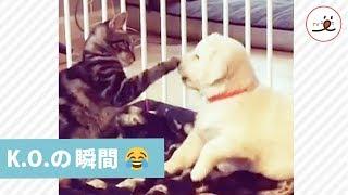 ニャンコに戦いを挑む子犬ちゃん😁 負けっぷりが可愛すぎて…(笑)【PECO TV】