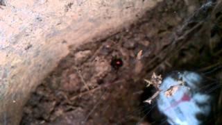 Black-Widow spider!!!