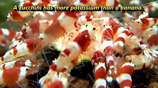Shrimp Versus Zucchini - Marks Shrimp Tanks 🦐