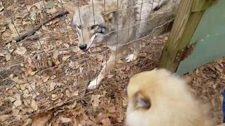 Coyote named Scooter - 127 - visitors