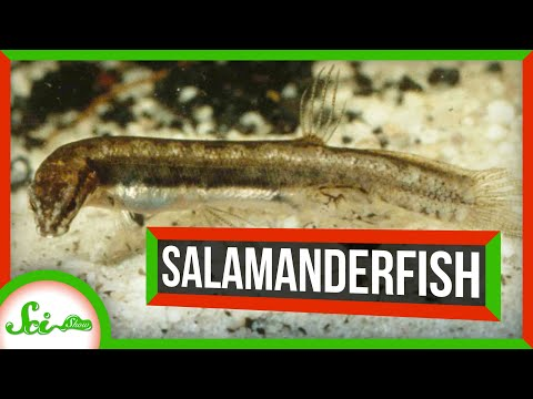 Instant Fish: Just Add Water | Salamanderfish