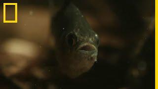 Le piranha, vraiment carnivore ?