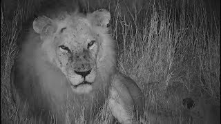 Djuma: Avoca Male lion-Pt:1 - 22:43 - 04/21/19
