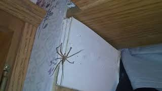BROWN RECLUSE SPIDER (reveals itself behind me in the mirror )
