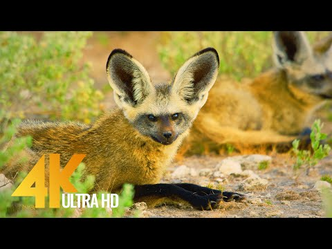 4K African Wildlife | Wild Botswana Showreel 2020 by Robert Hofmeyr