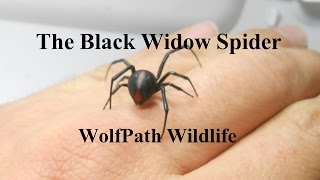 Black Widow Spider on my Hand - WolfPath Wildlife Ep. 8