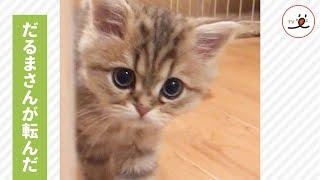今日も一緒に遊んでね🐱 子猫ちゃんの可愛い遊び方…💕【PECO TV】