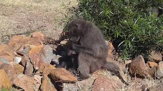 Kwa: Baboons going about their day around other animals etc - 10:33 - 06/13/19