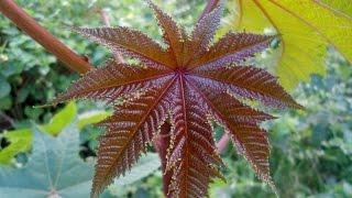 World's Most Poisonous Plant