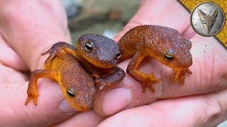 TOXIC but ADORABLE Newts!