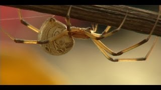 The Brown Widow Spider Invades Southern California
