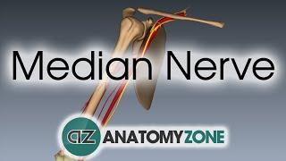 Median Nerve - 3D Anatomy Tutorial