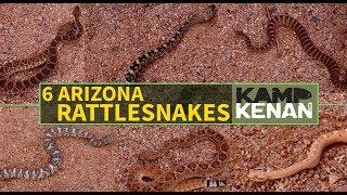 6 Venomous Rattlesnakes of Arizona