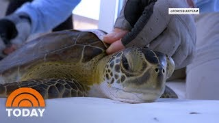 Marine Scientists Team Up With Combat Veterans To Save Sea Turtles | TODAY