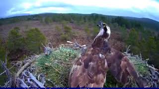 Blue-ringed intruder lands on EJ, Junior comes to chase him off ~ ©RSPB Loch Garten & Carnyx Wild